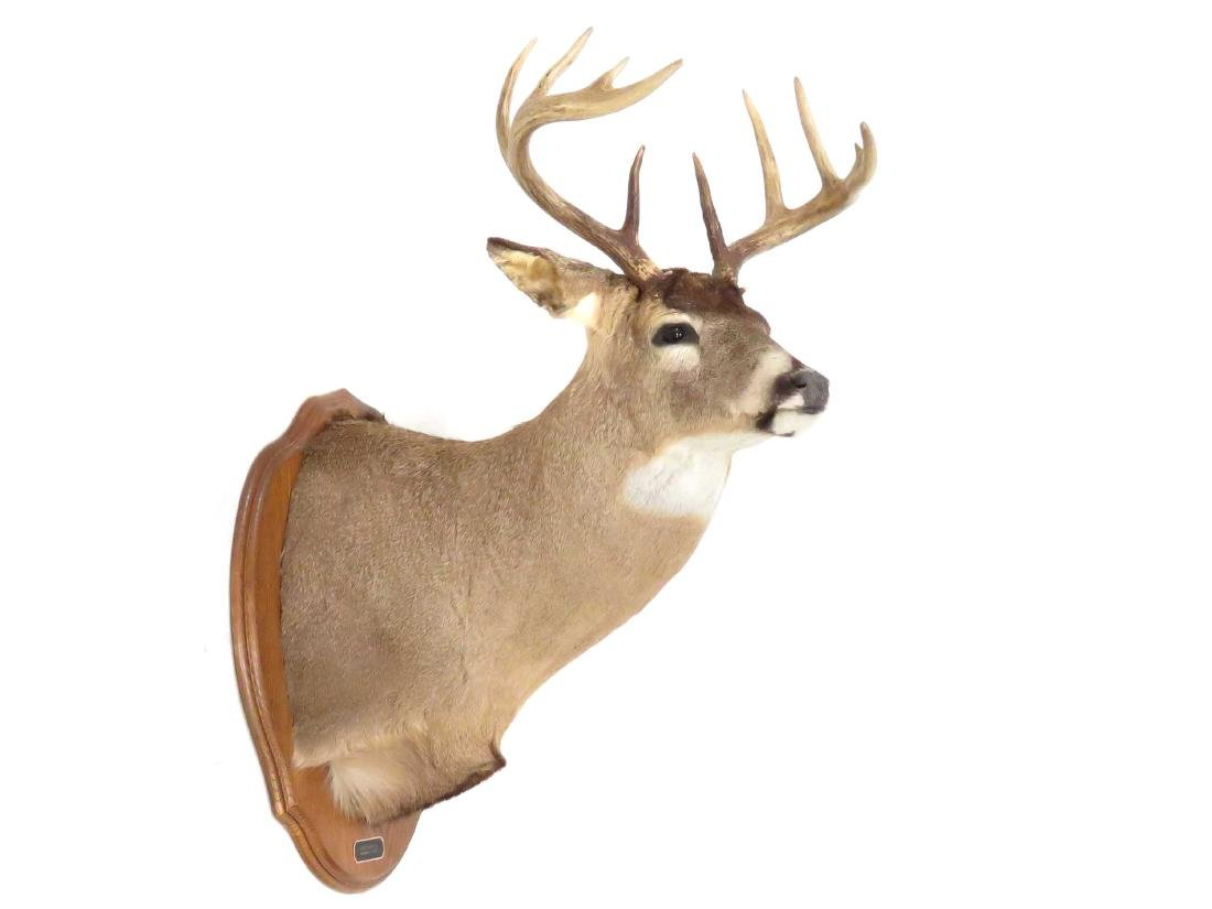 WHITE TAIL DEER BUCK SHOULDER TROPHY MOUNT, 10PT.