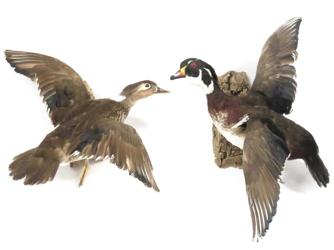 LOT (2) WOOD DUCK DRAKE & HEN IN FLIGHT TROPHY WALL