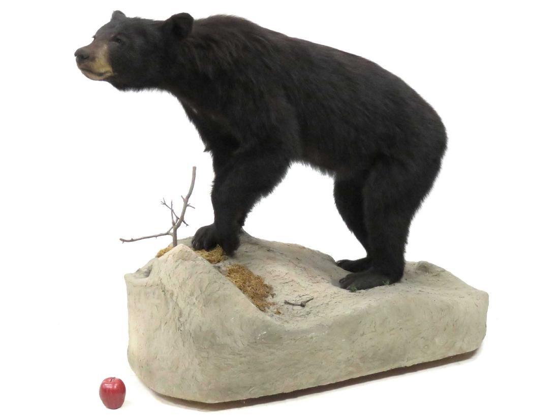 BLACK BEAR FULL BODY TROPHY MOUNT ON BOULDER. HEIGHT