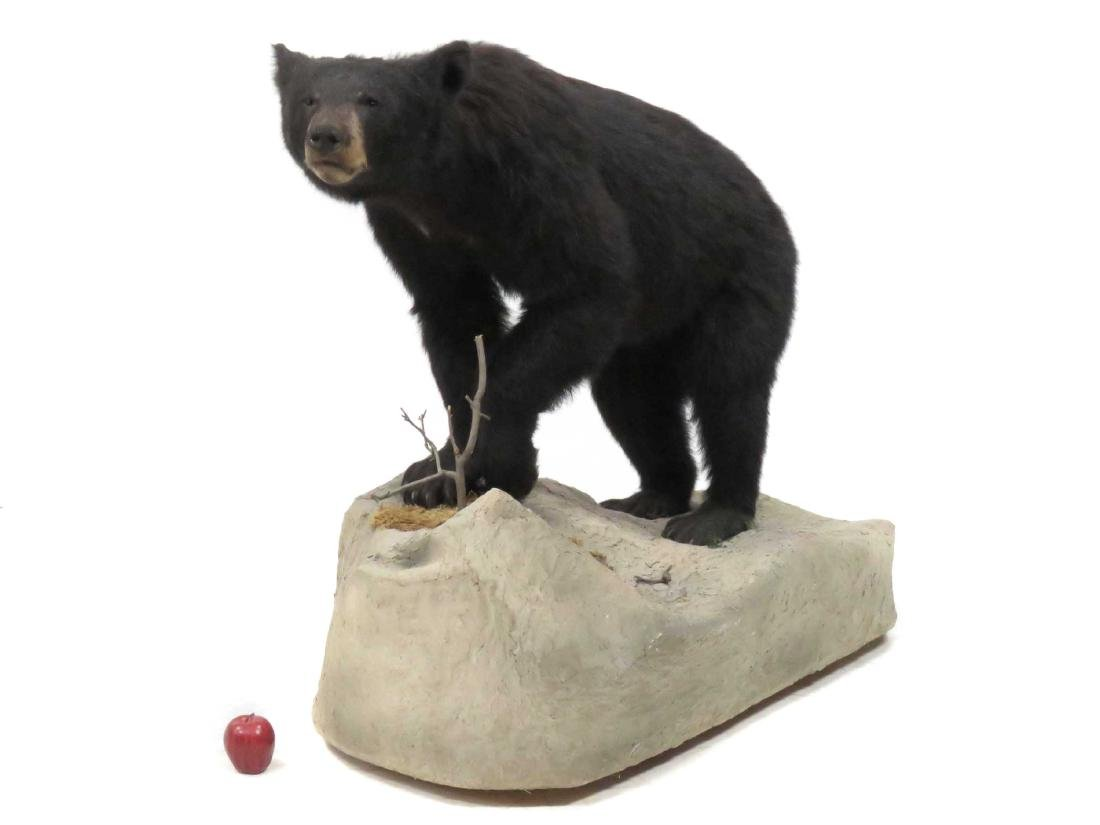 BLACK BEAR FULL BODY TROPHY MOUNT ON BOULDER. HEIGHT - 2