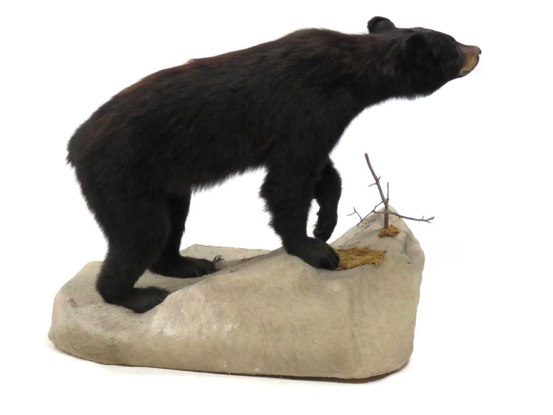 BLACK BEAR FULL BODY TROPHY MOUNT ON BOULDER. HEIGHT - 3