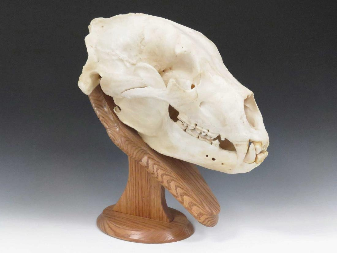 "LARGE BEAR SKULL ON OAK STAND. HEIGHT 16""; LENGTH 18"""