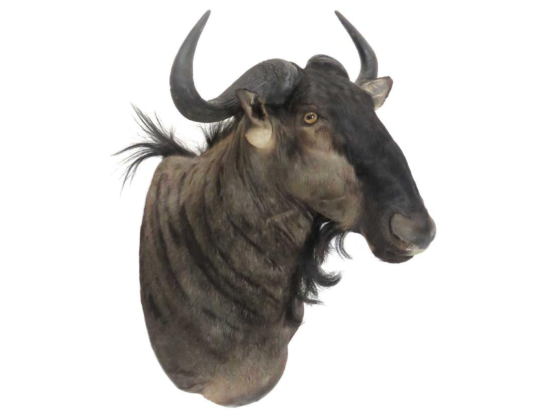 WILDEBEEST SHOULDER TROPHY MOUNT. HEIGHT 40""