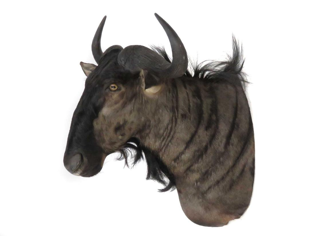 "WILDEBEEST SHOULDER TROPHY MOUNT. HEIGHT 40"" - 2"