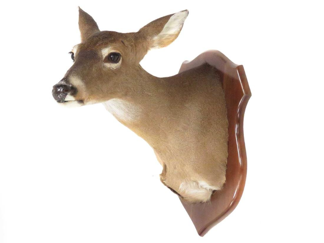 WHITE TAIL DEER SHOULDER TROPHY MOUNT. HEIGHT 20""