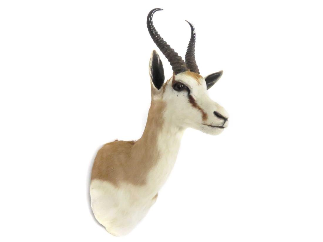 SPRINGBOK TROPHY SHOULDER MOUNT. HEIGHT 25""