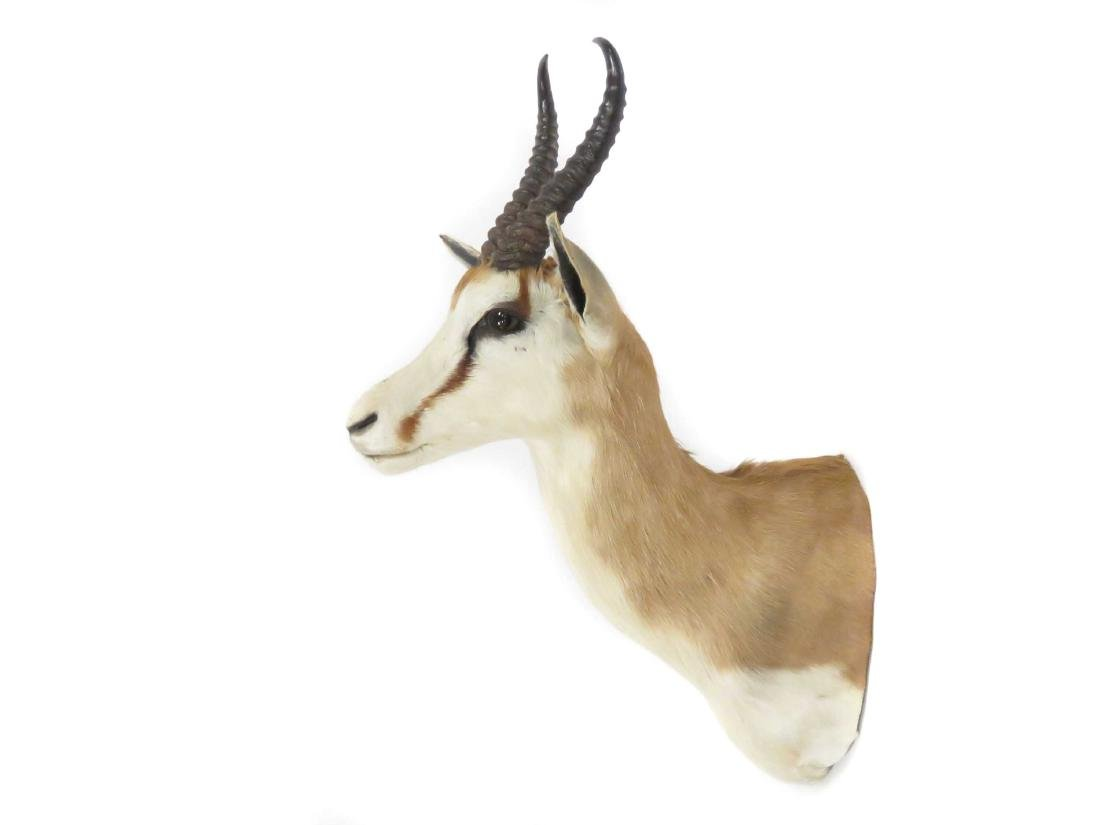 "SPRINGBOK TROPHY SHOULDER MOUNT. HEIGHT 25"" - 2"