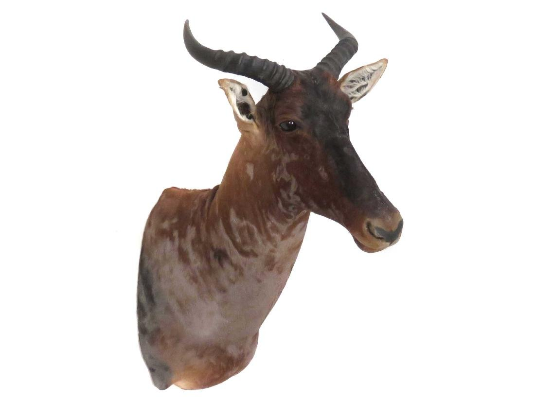 TSESSEBE SHOULDER HEAD TROPHY MOUNT. HEIGHT 36""