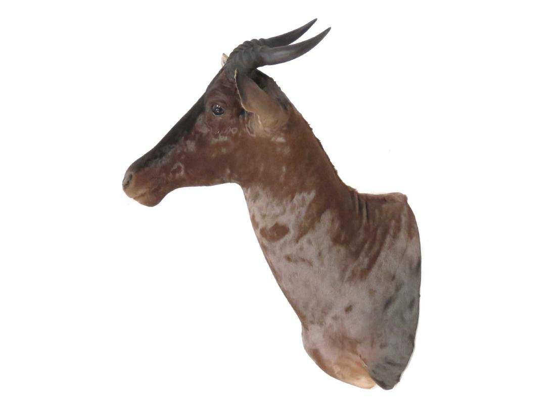 "TSESSEBE SHOULDER HEAD TROPHY MOUNT. HEIGHT 36"" - 2"