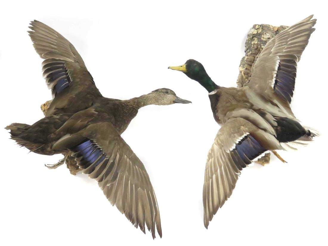 LOT (2) MALLARD DRAKE & HEN DUCK IN FLIGHT TROPHY WALL