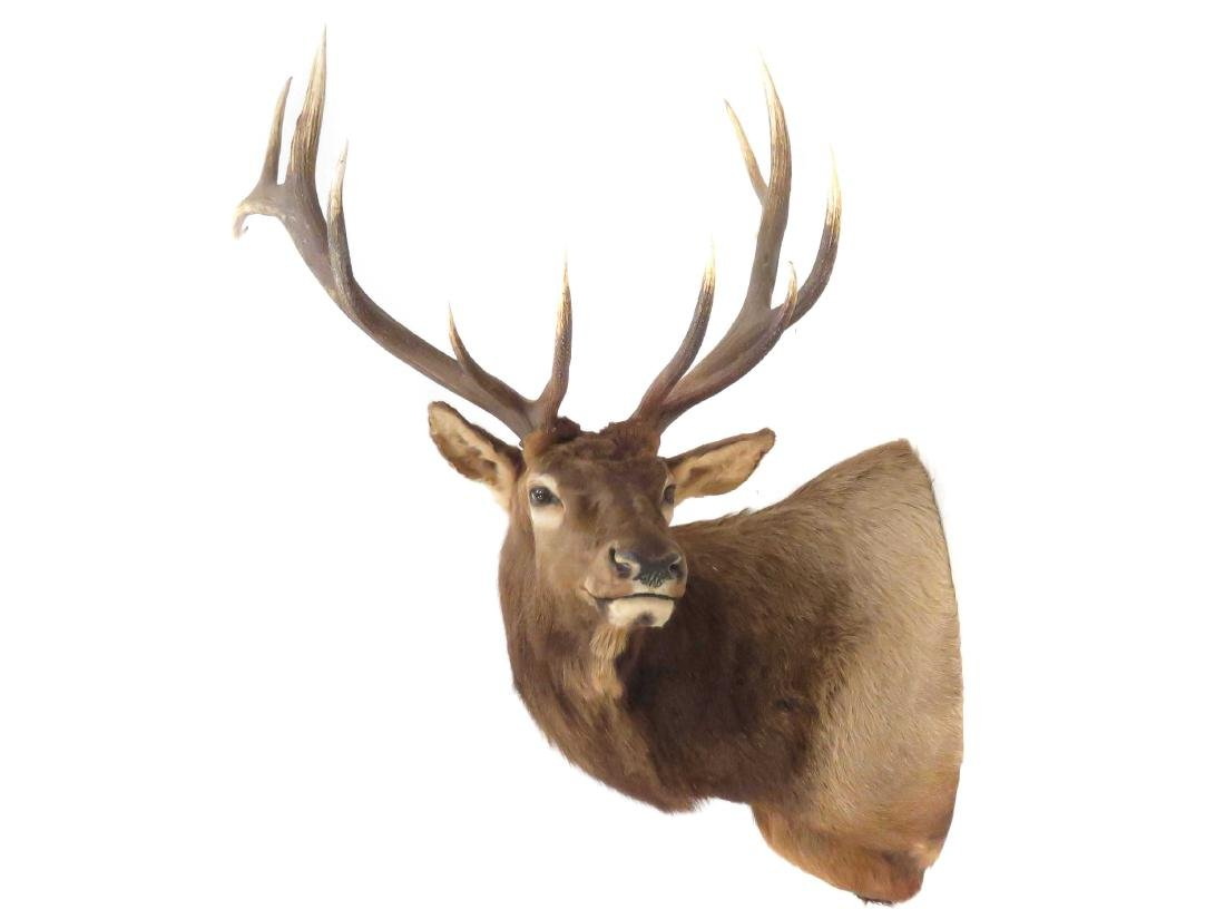 "NORTH AMERICAN ELK SHOULDER TROPHY MOUNT. HEIGHT 60"";"