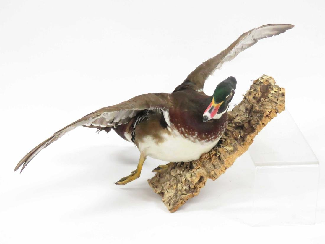 "WOOD DUCK DRAKE IN FLIGHT TROPHY WALL MOUNT. LENGTH 16"" - 2"