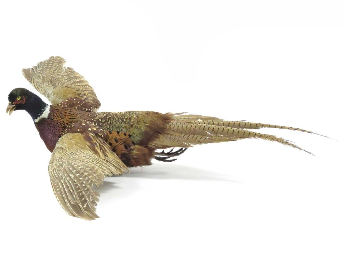 RING NECK PHEASANT IN FLIGHT FULL BODY TROPHY MOUNT.