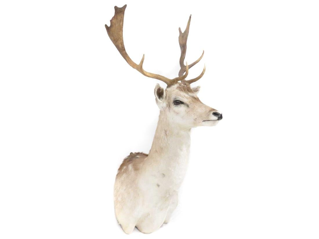 NORTH AMERICAN DEER SHOULDER TROPHY MOUNT (8PT). HEIGHT