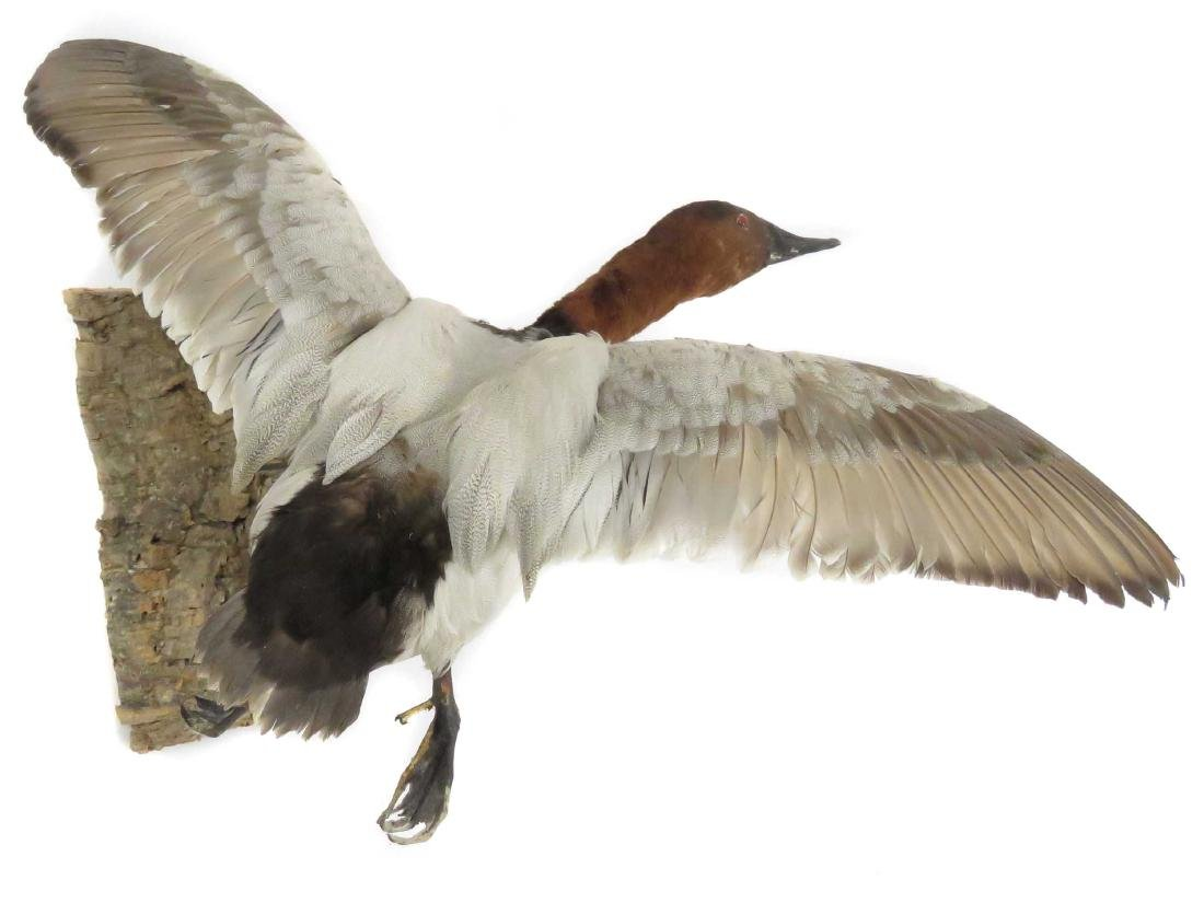 CANVASBACK DUCK IN FLIGHT TROPHY WALL MOUNT. LENGTH 21""
