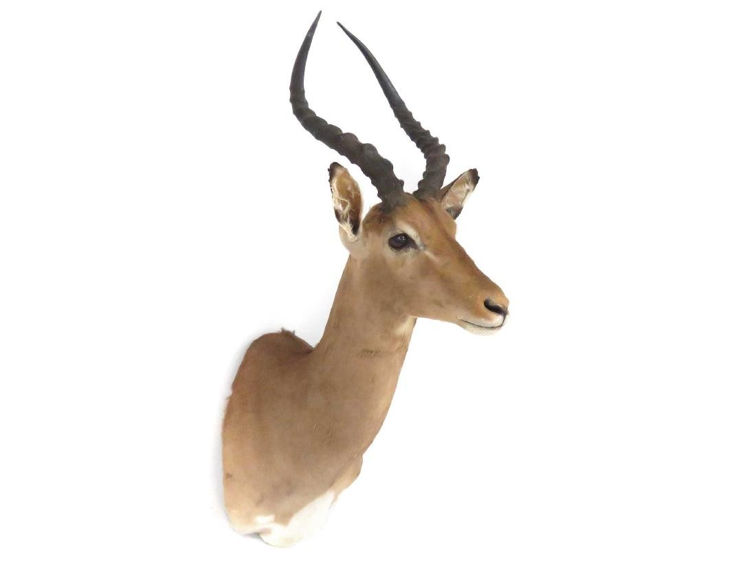 IMPALA SHOULDER TROPHY MOUNT. HEIGHT 36""