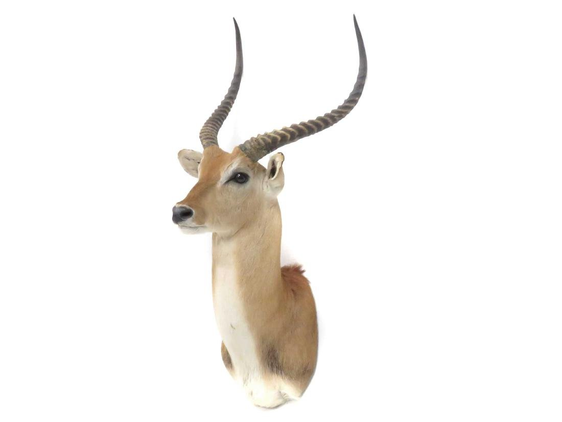 IMPALA SHOULDER TROPHY MOUNT. HEIGHT 48""
