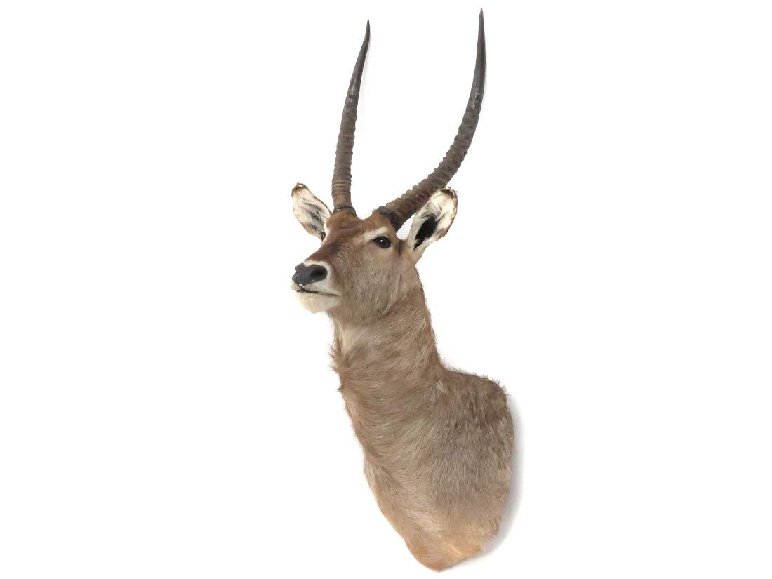 SOUTH AFRICAN WATERBUCK SHOULDER TROPHY MOUNT. HEIGHT