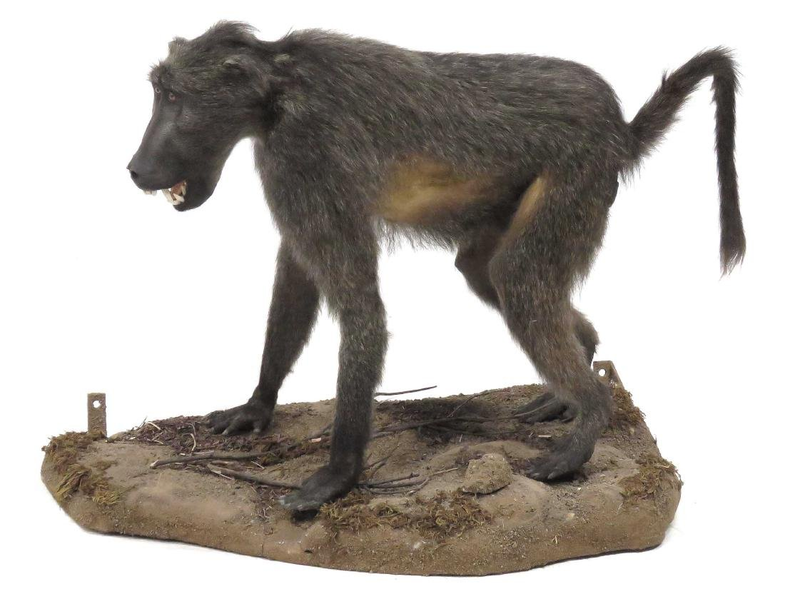 "BABOON FULL BODY TROPHY MOUNT ON BASE. HEIGHT 30"";"