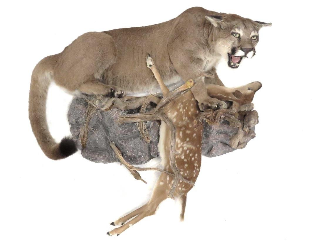 MOUNTAIN LION WITH PREY FULL BODY TROPHY WALL MOUNT.