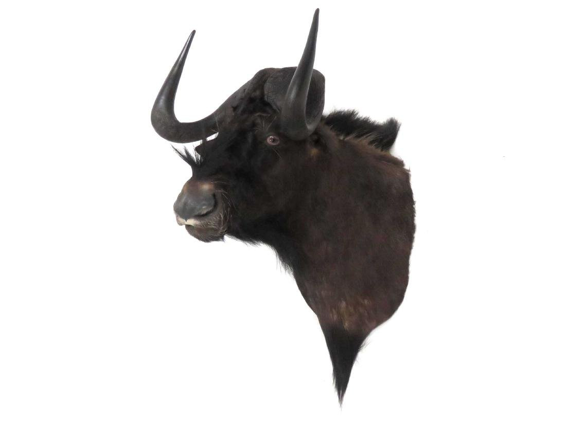 CAPE BUFFALO HEAD TROPHY MOUNT. HEIGHT 25""