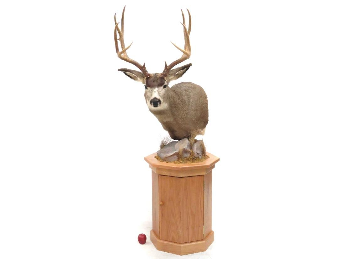 NORTH AMERICAN WHITE TAIL DEER BUCK SHOULDER TROPHY