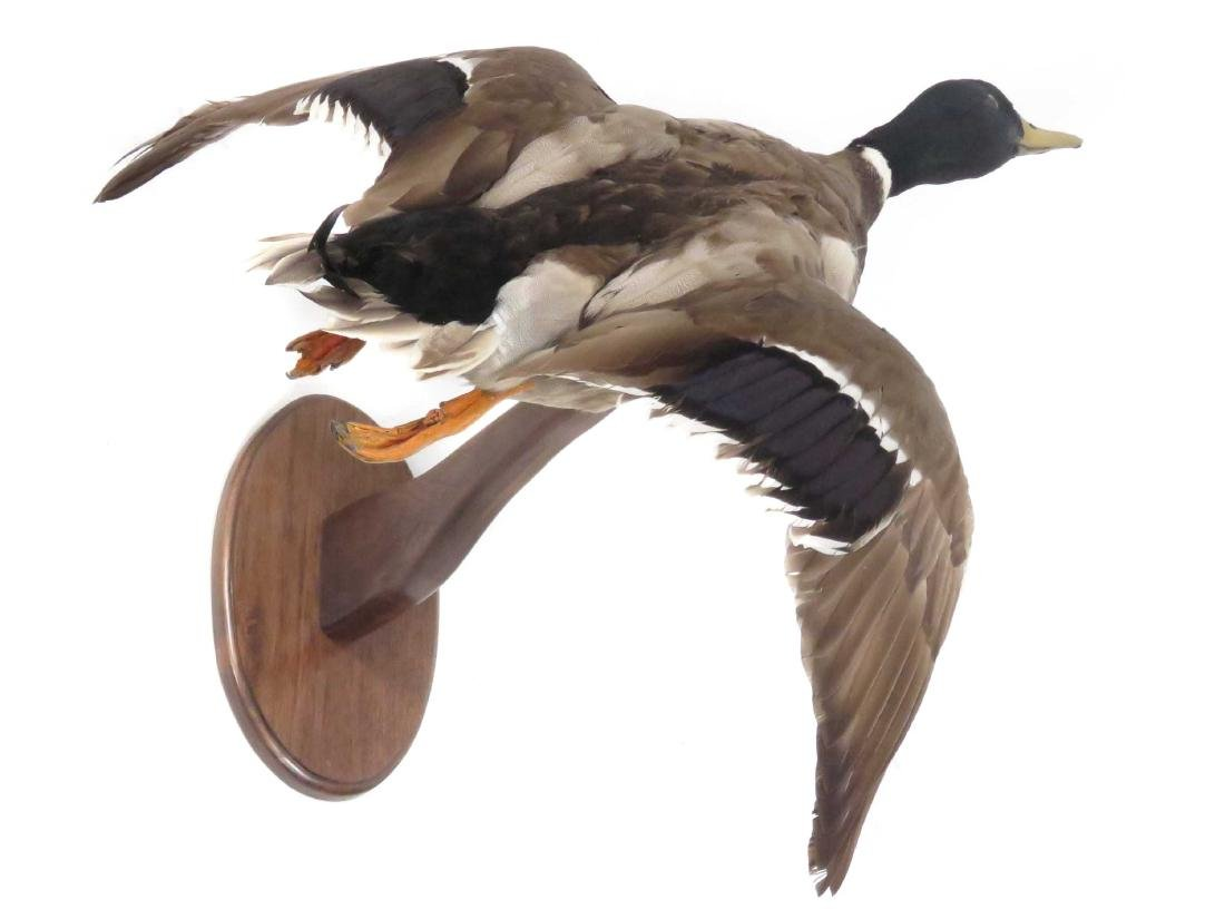 FLYING MALLARD DUCK TROPHY MOUNT. LENGTH 23""