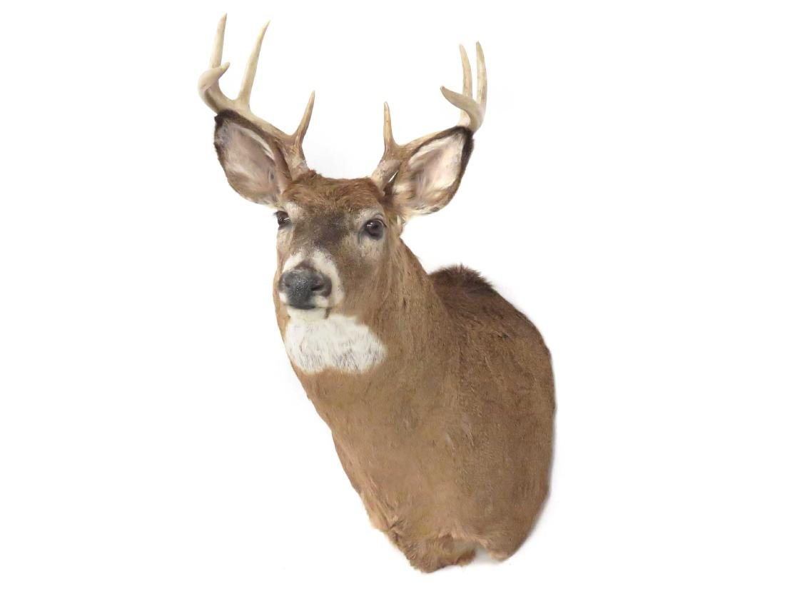 COMMON RED BUCK DEER SHOULDER TROPHY MOUNT (8PT).