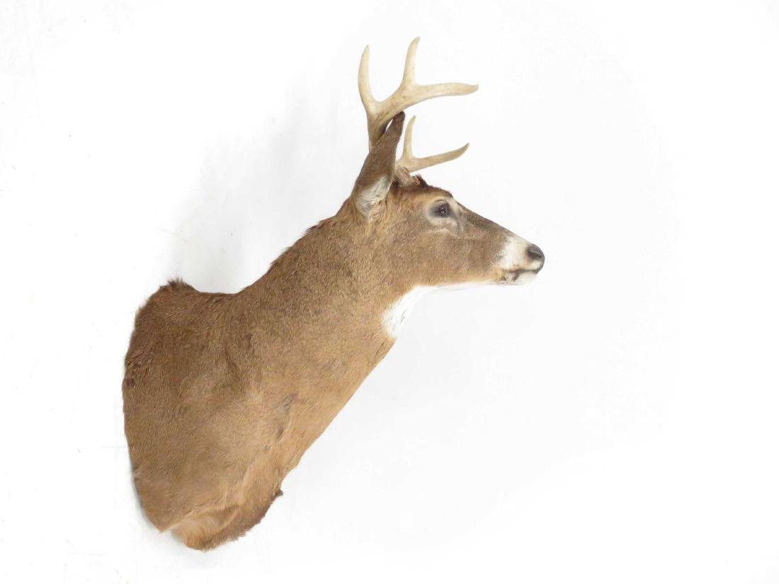 COMMON RED BUCK DEER SHOULDER TROPHY MOUNT (8PT). - 2