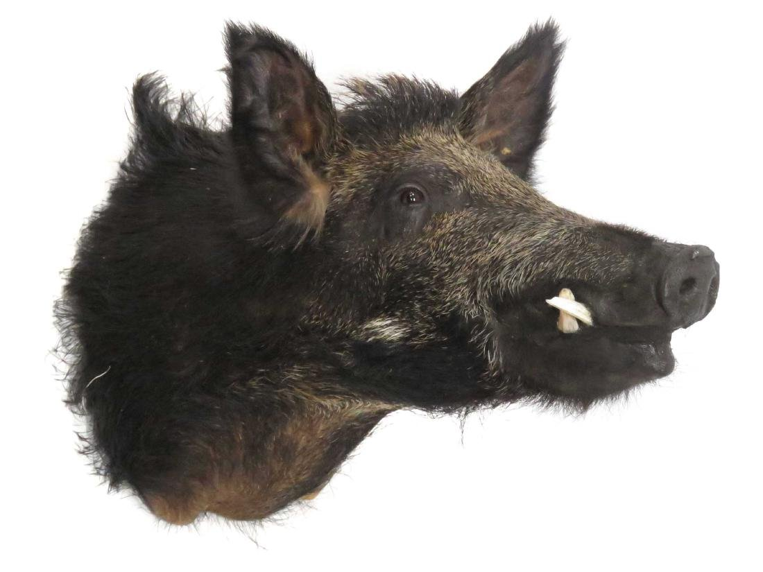 WARTHOG HEAD TROPHY MOUNT. HEIGHT 23""