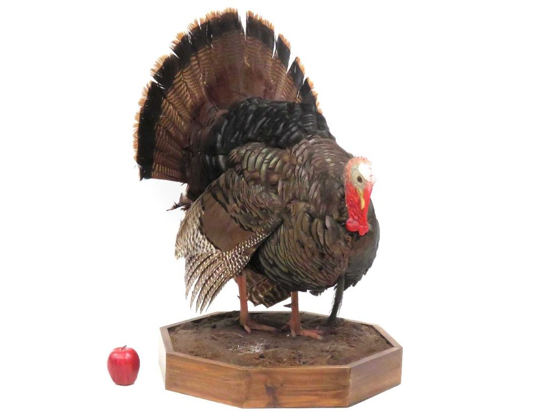 FULL BODY WILD TURKEY TROPHY MOUNT. HEIGHT 36""