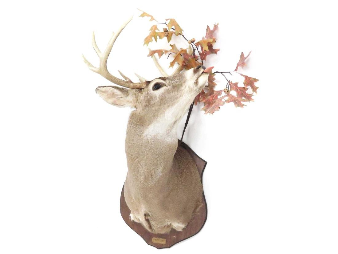 WHITE TAIL BUCK SHOULDER TROPHY MOUNT (10PT). HEIGHT