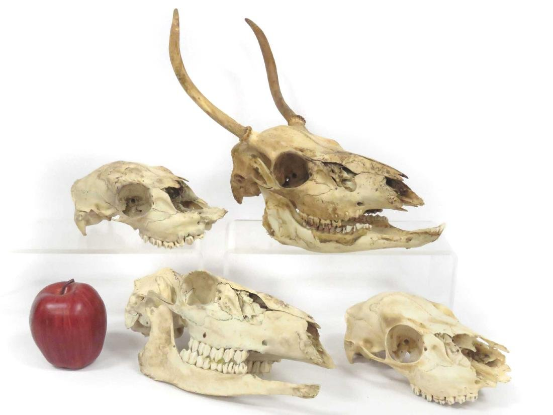 LOT (4) ASSORTED SKULLS INCLUDING BEAR & DEER