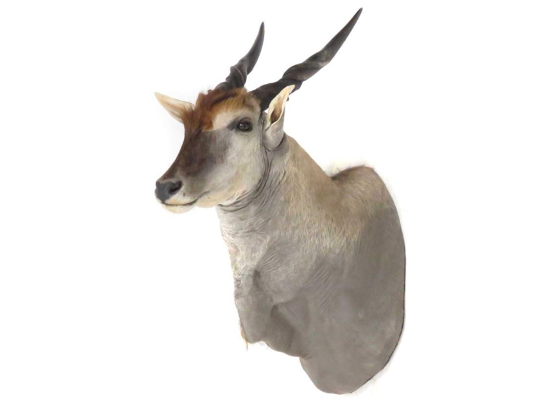BULL ELAND SHOULDER TROPHY MOUNT. HEIGHT 56""