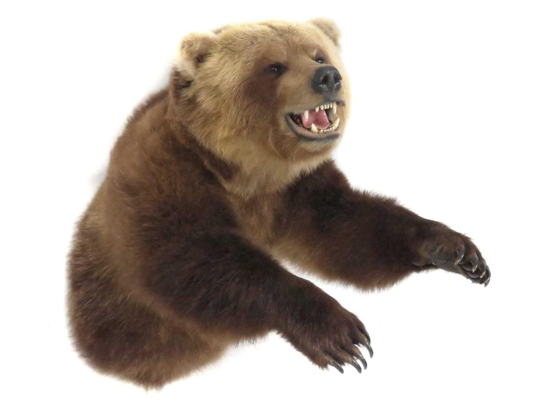 RUSSIAN BROWN BEAR TORSO TROPHY WALL MOUNT WITH FRONT