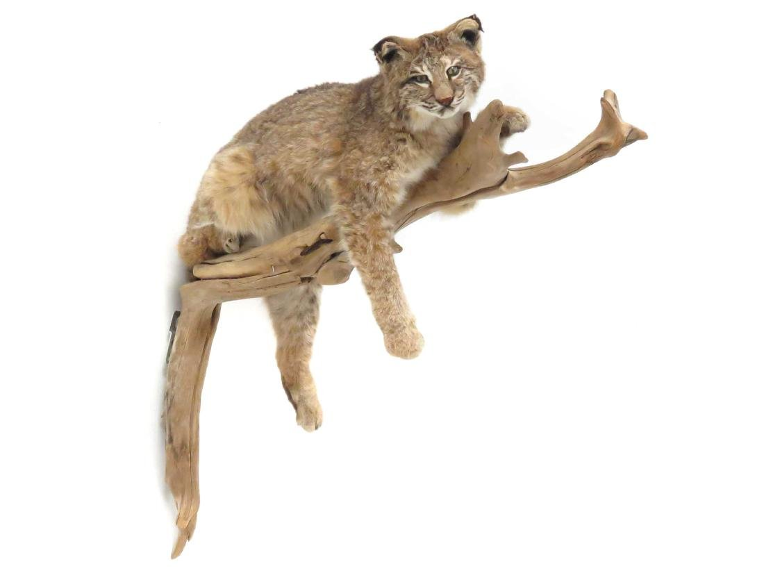 LYNX FULL BODY TROPHY WALL MOUNT ON TREE LIMB. LENGTH