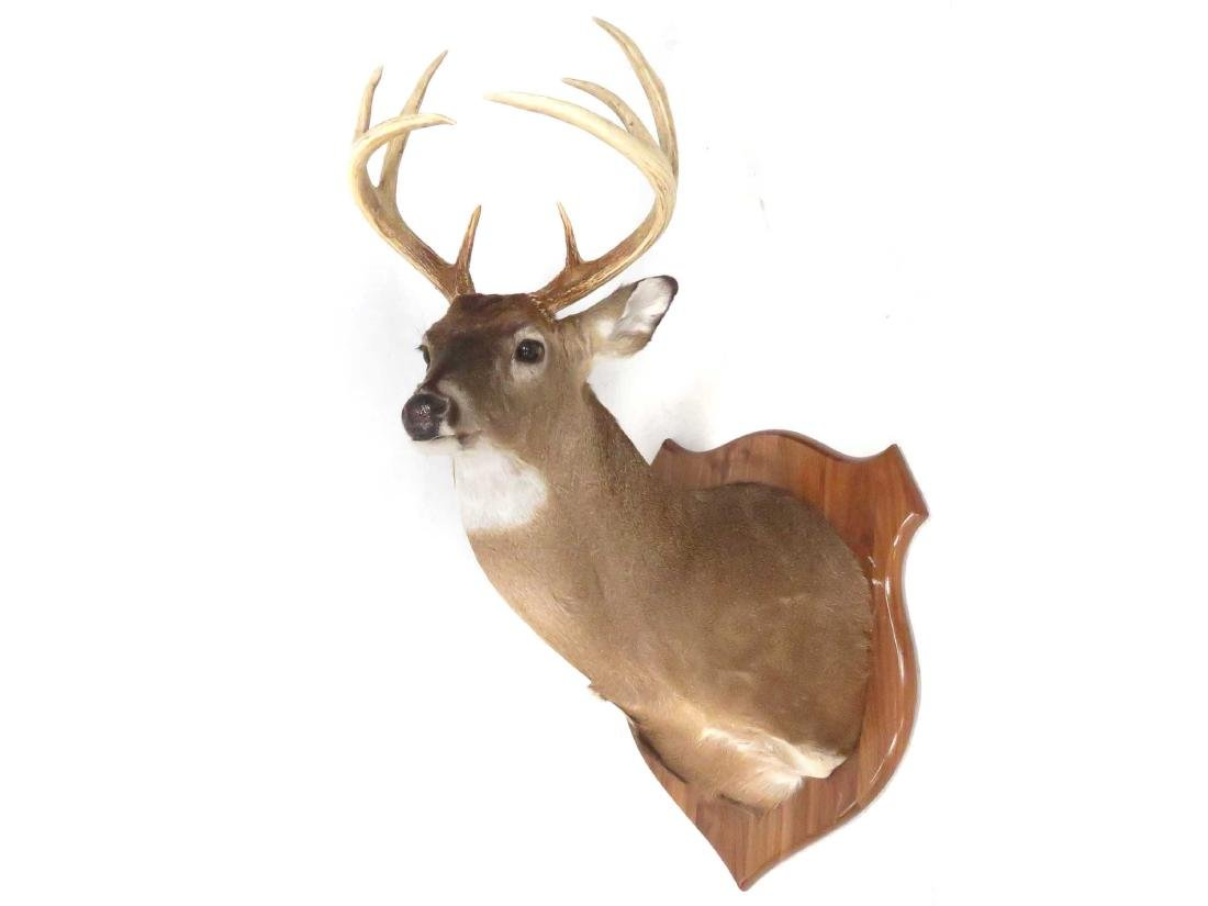 COMMON RED BUCK DEER SHOULDER TROPHY MOUNT (8 PT).