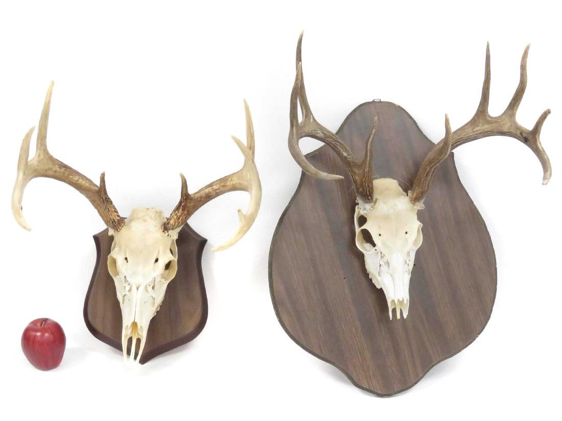 LOT (2) DEER SKULL/ANTLER TROPHY WALL MOUNTS (9PT).