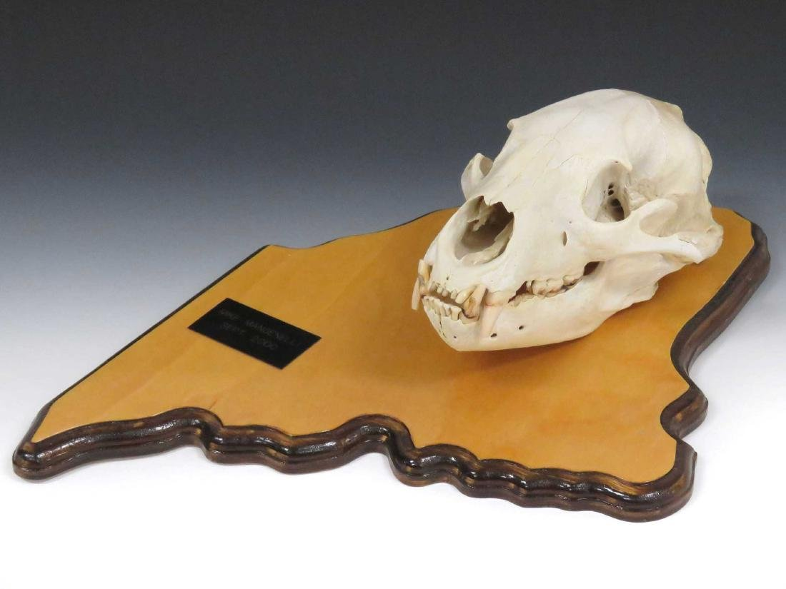 BEAR SKULL MOUNTED ON STATE OF MAINE WOOD PLAQUE.