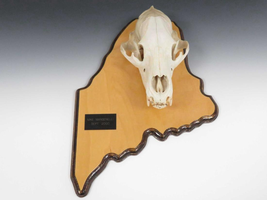 BEAR SKULL MOUNTED ON STATE OF MAINE WOOD PLAQUE. - 2