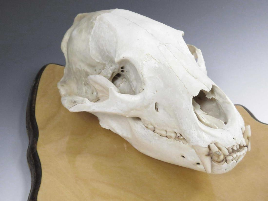 BEAR SKULL MOUNTED ON STATE OF MAINE WOOD PLAQUE. - 3