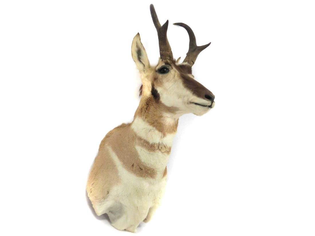 PRONG HORN ANTELOPE SHOULDER TROPHY MOUNT. HEIGHT 28""