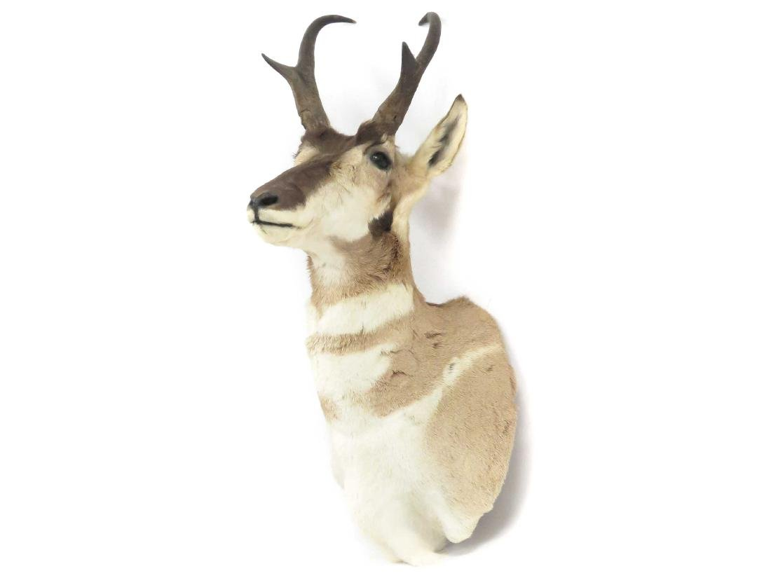 "PRONG HORN ANTELOPE SHOULDER TROPHY MOUNT. HEIGHT 28"" - 2"