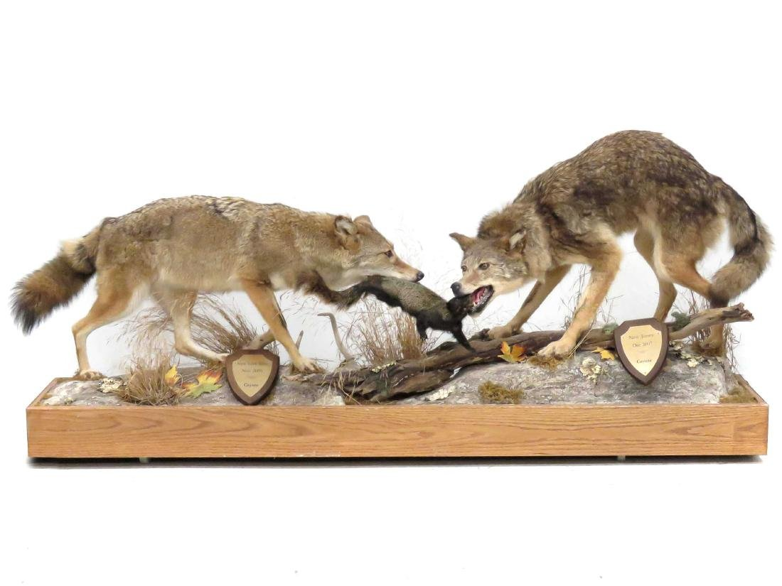 NORTH AMERICAN COYOTE (2) FULL BODY TROPHY MOUNTS WITH