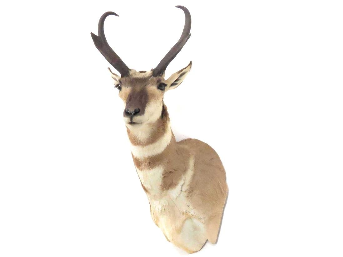 PRONG HORN ANTELOPE SHOULDER TROPHY MOUNT. HEIGHT 33""