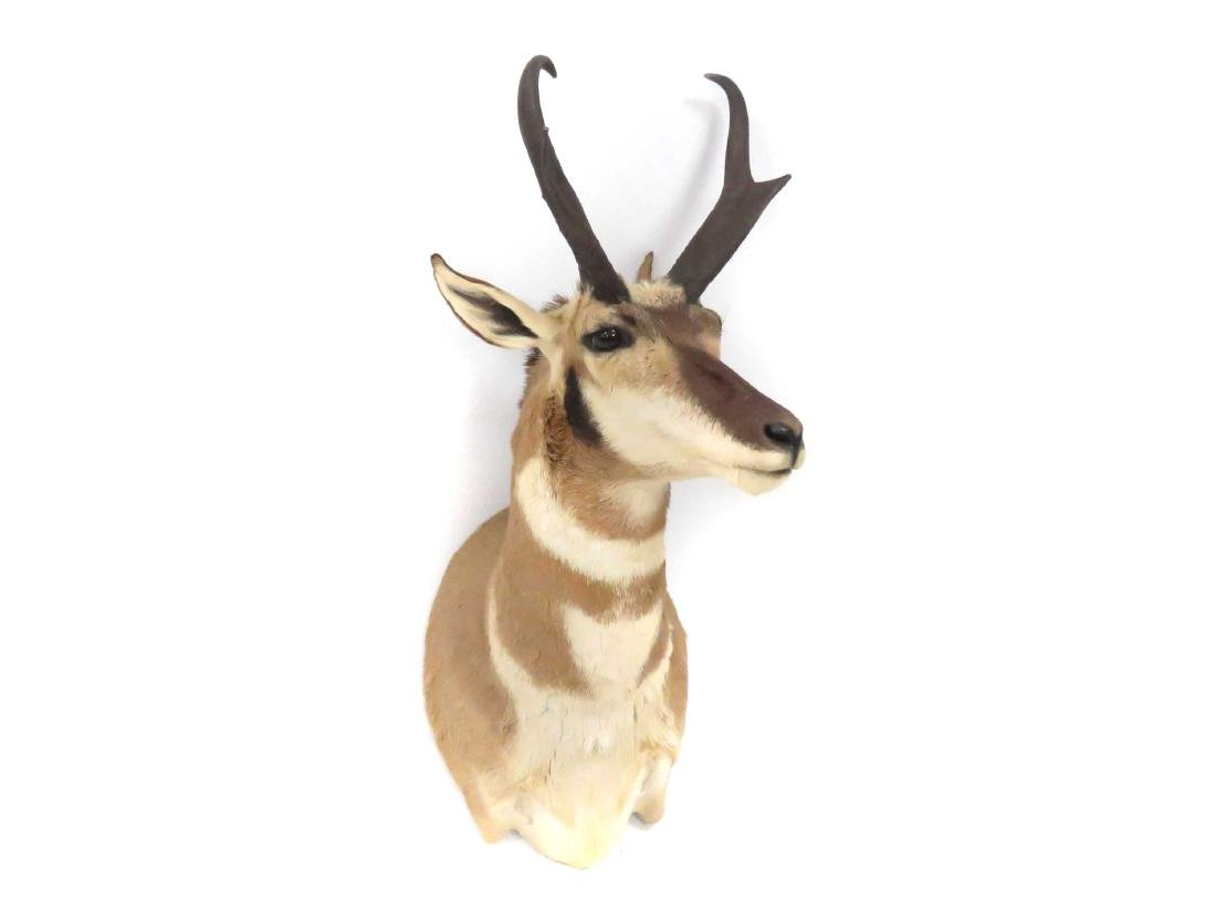 "PRONG HORN ANTELOPE SHOULDER TROPHY MOUNT. HEIGHT 33"" - 2"