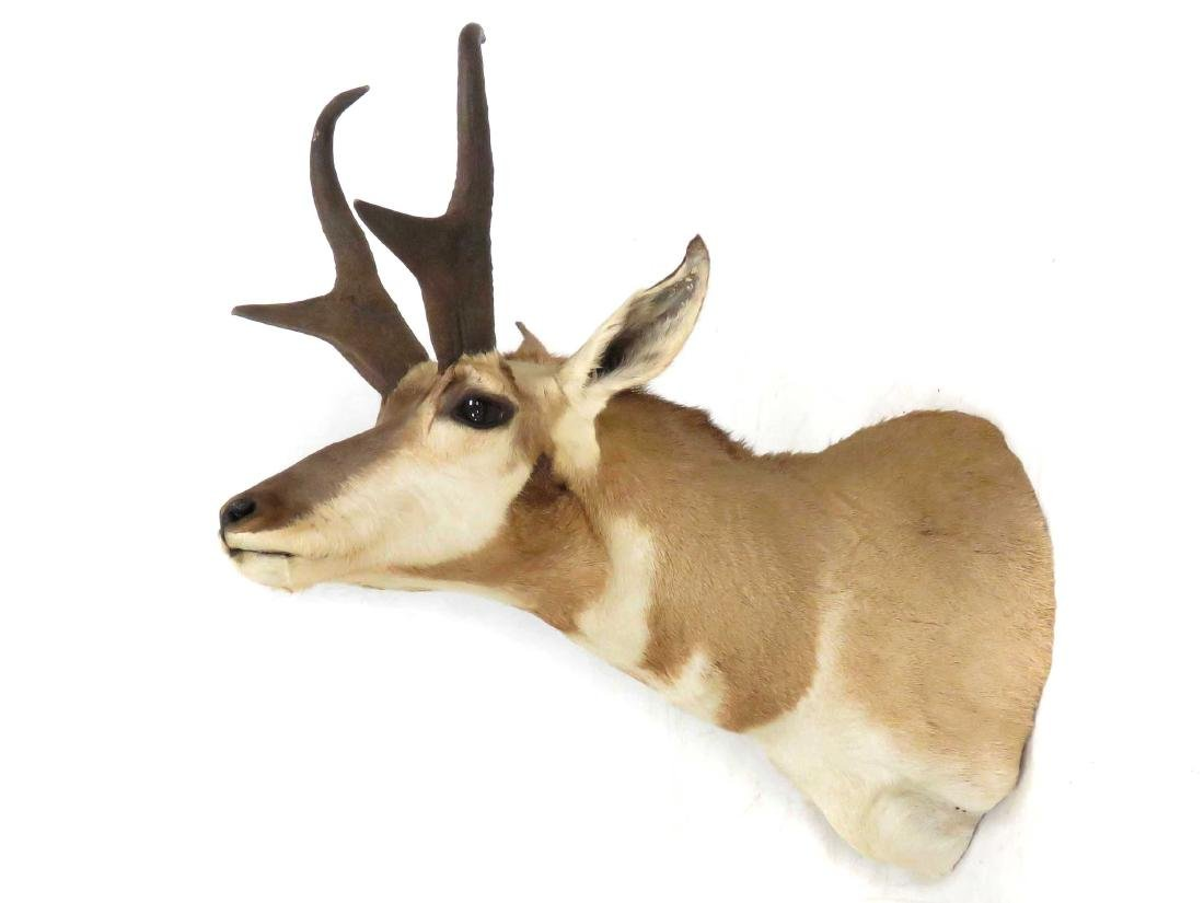 PRONG HORN ANTELOPE SHOULDER TROPHY MOUNT. HEIGHT 24""