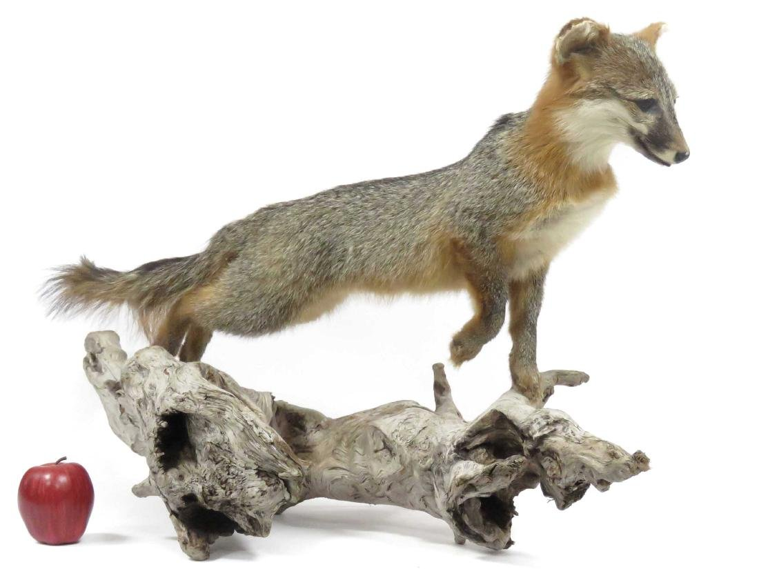 "YOUNG GREY FOX TROPHY MOUNT. HEIGHT 21""; LENGTH 38"""