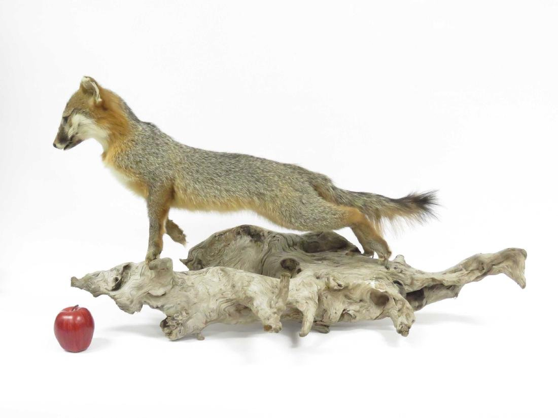 """YOUNG GREY FOX TROPHY MOUNT. HEIGHT 21""""; LENGTH 38"""" - 2"""