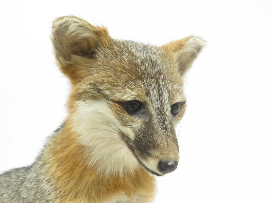 """YOUNG GREY FOX TROPHY MOUNT. HEIGHT 21""""; LENGTH 38"""" - 3"""